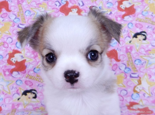 チワワ(ロング)の子犬(ID:1244711747)の1枚目の写真/更新日:2020-12-07