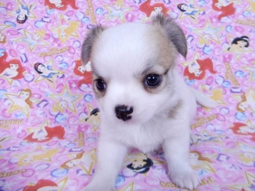 チワワ(ロング)の子犬(ID:1244711747)の2枚目の写真/更新日:2020-08-23