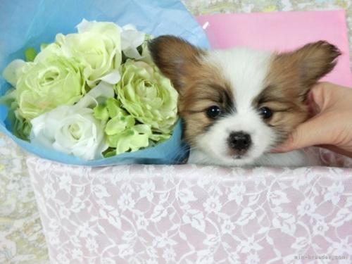 チワワ(ロング)の子犬(ID:1244711748)の2枚目の写真/更新日:2020-08-23
