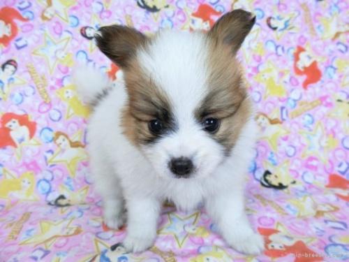 チワワ(ロング)の子犬(ID:1244711748)の3枚目の写真/更新日:2020-08-23