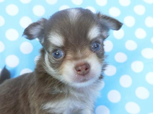 チワワ(ロング)の子犬(ID:1244711749)の1枚目の写真/更新日:2020-08-23