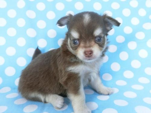 チワワ(ロング)の子犬(ID:1244711749)の2枚目の写真/更新日:2020-08-23