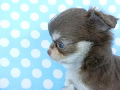 チワワ(ロング)の子犬(ID:1244711749)の3枚目の写真/更新日:2020-08-23
