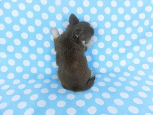 チワワ(ロング)の子犬(ID:1244711749)の4枚目の写真/更新日:2020-08-23