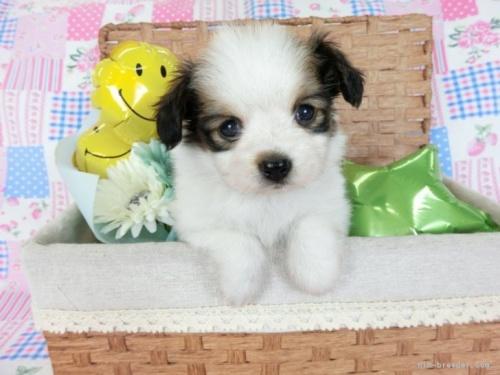 チワワ(ロング)の子犬(ID:1244711750)の2枚目の写真/更新日:2020-08-23