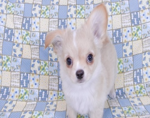 チワワ(ロング)の子犬(ID:1244711751)の2枚目の写真/更新日:2020-12-07