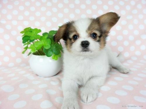 パピヨンの子犬(ID:1244711752)の2枚目の写真/更新日:2021-05-12