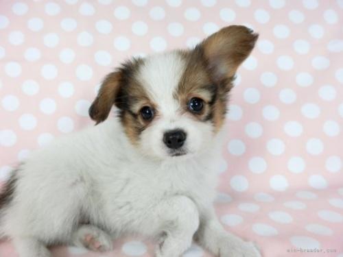 パピヨンの子犬(ID:1244711752)の3枚目の写真/更新日:2021-05-12