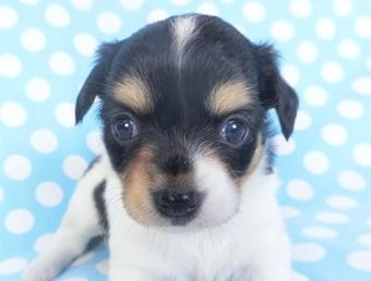 チワワ(ロング)の子犬(ID:1244711753)の1枚目の写真/更新日:2020-09-19