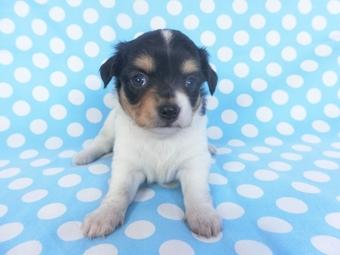 チワワ(ロング)の子犬(ID:1244711753)の2枚目の写真/更新日:2021-02-25