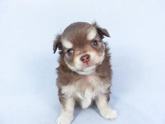 チワワ(ロング)の子犬(ID:1244711754)の1枚目の写真/更新日:2021-03-09