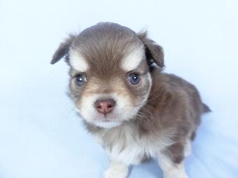 チワワ(ロング)の子犬(ID:1244711754)の2枚目の写真/更新日:2021-03-09