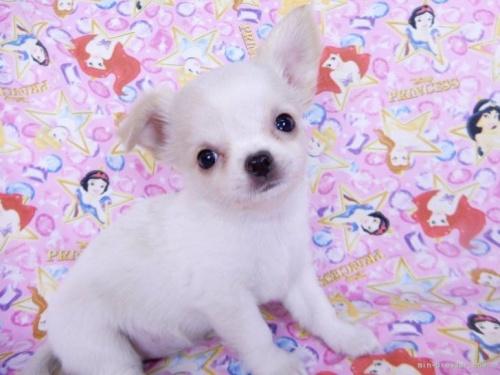 チワワ(ロング)の子犬(ID:1244711755)の2枚目の写真/更新日:2021-02-09