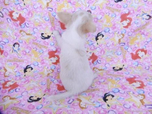 チワワ(ロング)の子犬(ID:1244711755)の3枚目の写真/更新日:2021-02-09