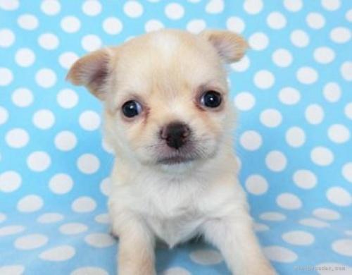 チワワ(ロング)の子犬(ID:1244711756)の2枚目の写真/更新日:2021-01-29