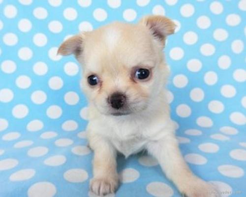 チワワ(ロング)の子犬(ID:1244711756)の3枚目の写真/更新日:2021-01-29