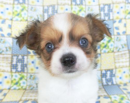 チワワ(ロング)の子犬(ID:1244711757)の1枚目の写真/更新日:2021-01-29