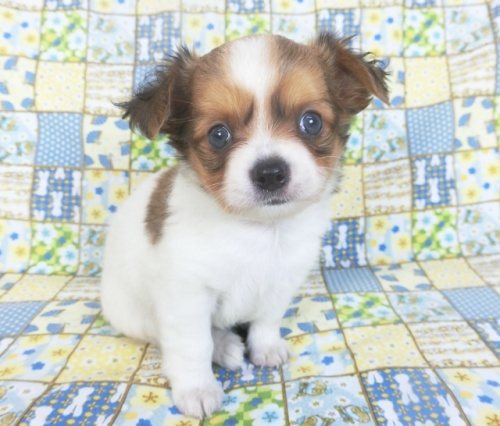 チワワ(ロング)の子犬(ID:1244711757)の2枚目の写真/更新日:2021-01-29