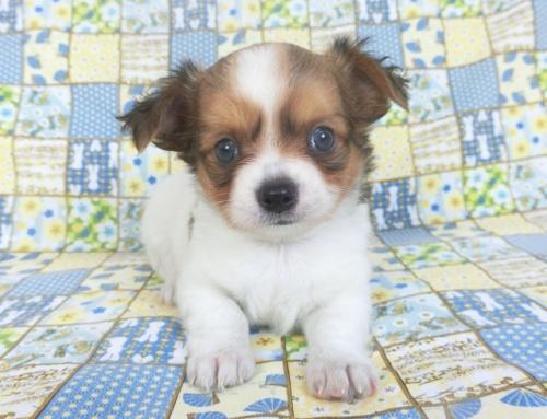 チワワ(ロング)の子犬(ID:1244711757)の3枚目の写真/更新日:2021-01-29