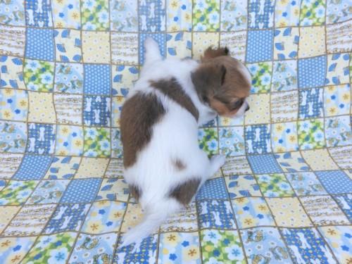チワワ(ロング)の子犬(ID:1244711757)の4枚目の写真/更新日:2021-10-18
