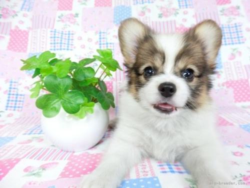 チワワ(ロング)の子犬(ID:1244711758)の2枚目の写真/更新日:2021-02-25