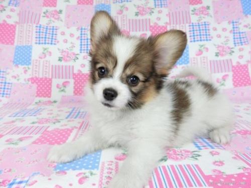 チワワ(ロング)の子犬(ID:1244711758)の3枚目の写真/更新日:2021-02-25
