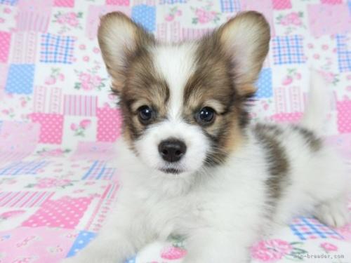 パピヨンの子犬(ID:1244711758)の4枚目の写真/更新日:2021-10-18