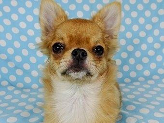 チワワ(ロング)の子犬(ID:1244711759)の1枚目の写真/更新日:2021-09-06