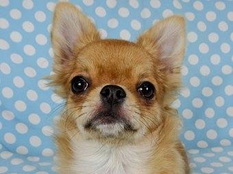 チワワ(ロング)の子犬(ID:1244711759)の2枚目の写真/更新日:2021-09-06