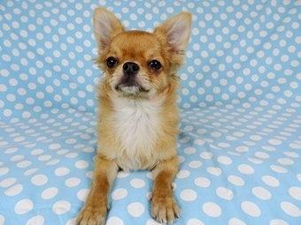 チワワ(ロング)の子犬(ID:1244711759)の3枚目の写真/更新日:2021-09-06