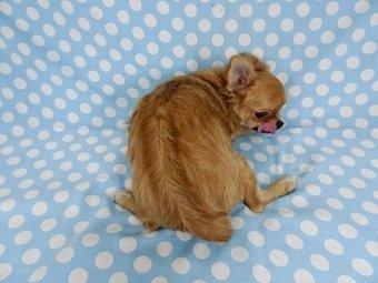 チワワ(ロング)の子犬(ID:1244711759)の4枚目の写真/更新日:2021-09-06