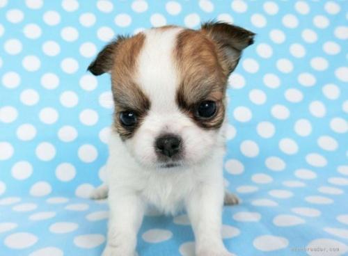 チワワ(ロング)の子犬(ID:1244711760)の2枚目の写真/更新日:2021-09-06
