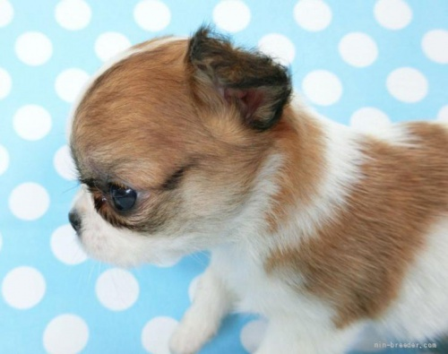 チワワ(ロング)の子犬(ID:1244711760)の4枚目の写真/更新日:2021-09-06