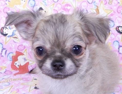 チワワ(ロング)の子犬(ID:1244711761)の1枚目の写真/更新日:2021-09-19