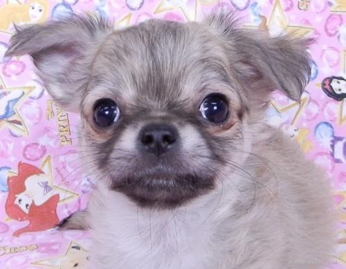 チワワ(ロング)の子犬(ID:1244711761)の2枚目の写真/更新日:2021-09-19