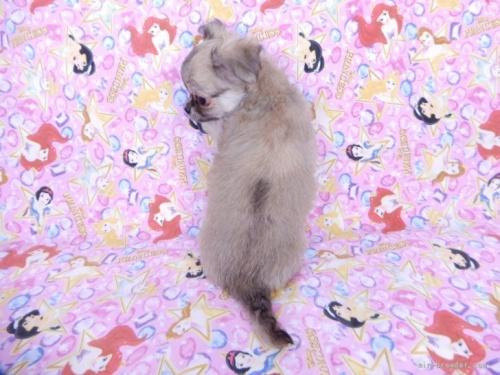 チワワ(ロング)の子犬(ID:1244711761)の4枚目の写真/更新日:2021-09-19