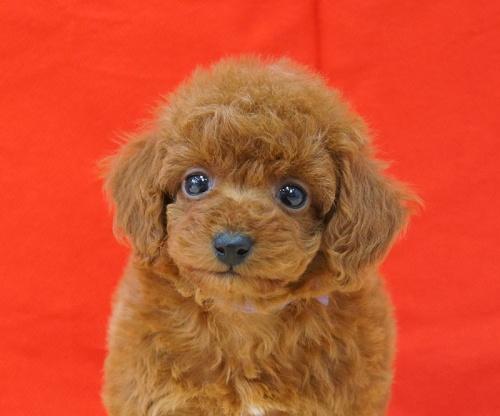 トイプードルの子犬(ID:1245011496)の1枚目の写真/更新日:2017-02-24
