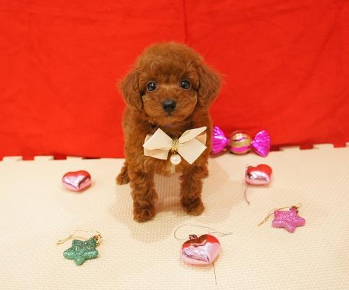 トイプードルの子犬(ID:1245011496)の3枚目の写真/更新日:2017-02-24
