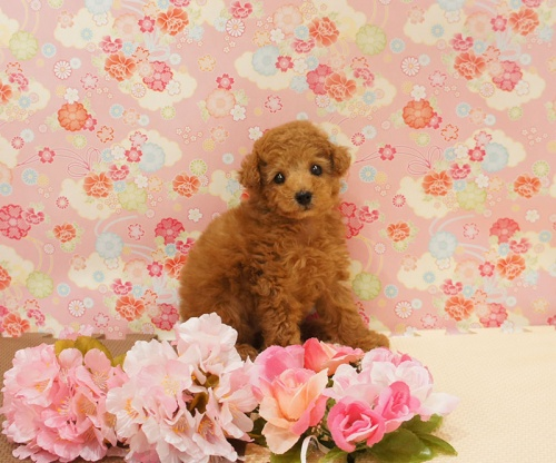 トイプードルの子犬(ID:1245011509)の1枚目の写真/更新日:2017-03-15