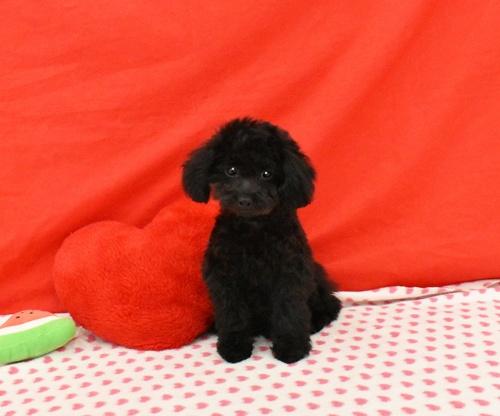 トイプードルの子犬(ID:1245011609)の1枚目の写真/更新日:2018-08-15