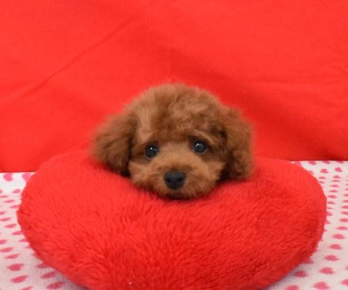 トイプードルの子犬(ID:1245011612)の1枚目の写真/更新日:2018-08-10