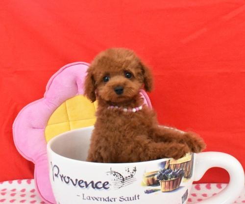 トイプードルの子犬(ID:1245011612)の2枚目の写真/更新日:2018-08-10
