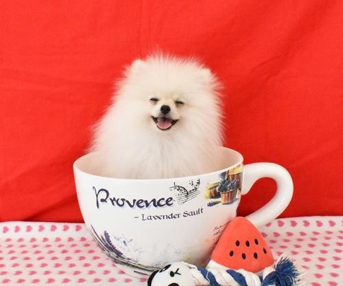 ポメラニアンの子犬(ID:1245011614)の1枚目の写真/更新日:2018-08-02