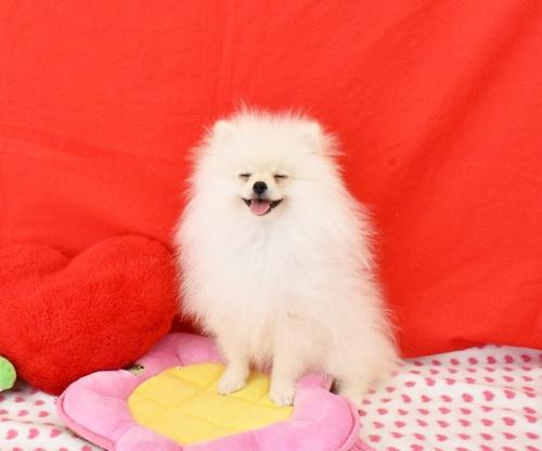 ポメラニアンの子犬(ID:1245011614)の2枚目の写真/更新日:2018-08-02