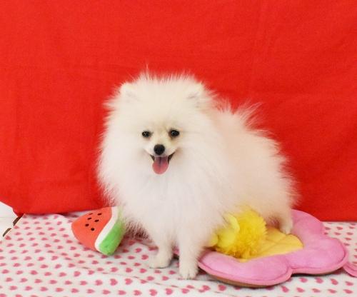 ポメラニアンの子犬(ID:1245011614)の3枚目の写真/更新日:2018-08-02