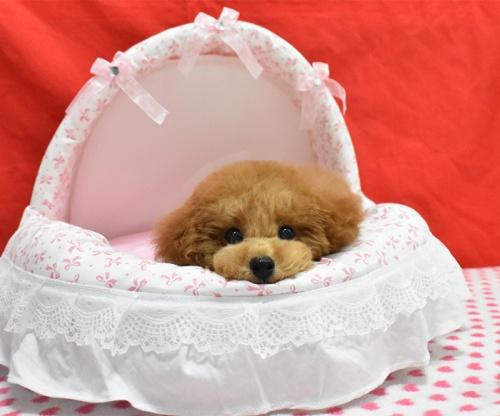 トイプードルの子犬(ID:1245011618)の1枚目の写真/更新日:2018-09-18
