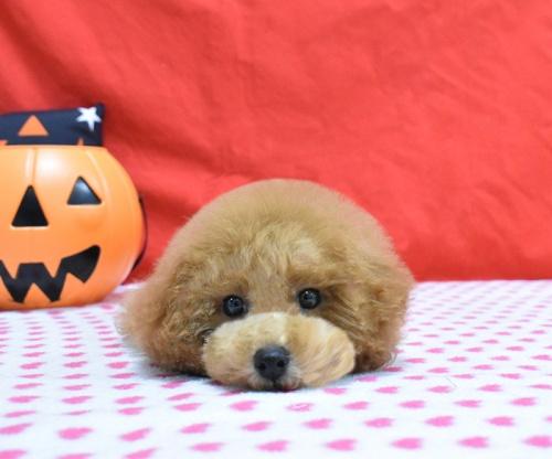 トイプードルの子犬(ID:1245011618)の2枚目の写真/更新日:2018-09-18