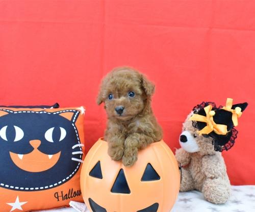 トイプードルの子犬(ID:1245011630)の2枚目の写真/更新日:2018-10-23