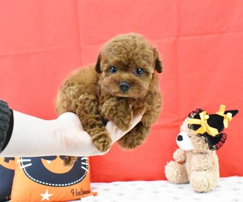 トイプードルの子犬(ID:1245011631)の2枚目の写真/更新日:2018-10-23