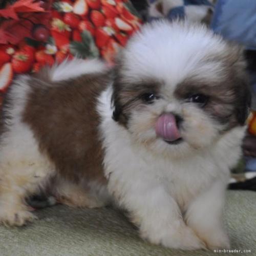 シーズーの子犬(ID:1245211073)の1枚目の写真/更新日:2018-06-21